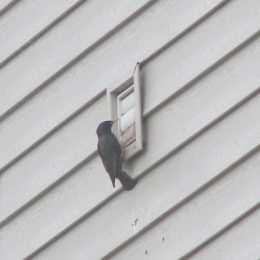 European starling entering bathroom exhaust vent