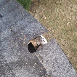 gray squirrel chewed through roof