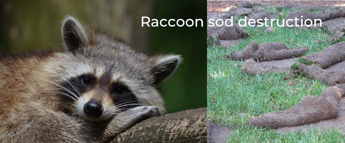 Raccoon Slider
